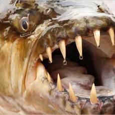 pez-tigre-goliat-boca
