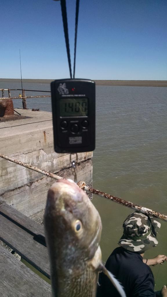 Pescado capturado por Rodrigo, uno de los que estaban pescando en la escollera, encarnando con camarón y de fondo,