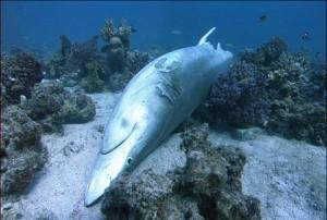 aleteo-tiburon