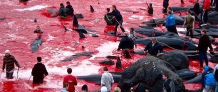 Como cada año, los habitantes del poblado japonés Futuo se preparan para su funesto ritual en el que dan muerte a cerca de 20 mil delfines al comenzar septiembre. A pesar de que esta práctica ha sido internacionalmente repudiada y denunciada por múltiples organizaciones ambientalistas, nada parece detenerla año tras año.