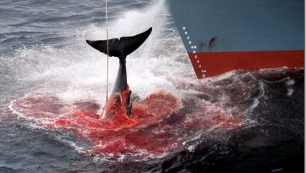 Aducen que es para investigación, pero es algo que nunca cerro: millones de ballenas dan sus ultimos coletazos tratando de zafar de las garras de hierros controladas por el cada vez menos pensante ser humano.