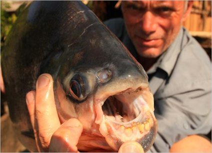 red-bellied-pacu-01-625x450