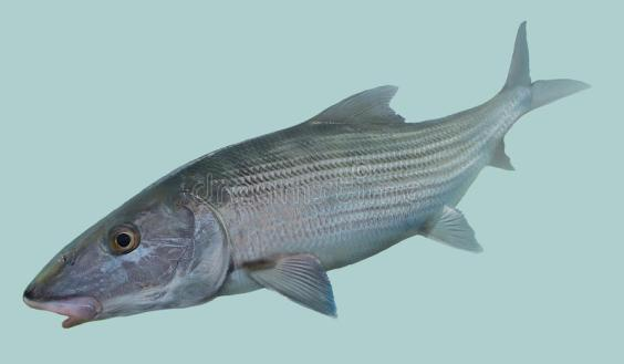 retrato-de-la-pesca-con-mosca-del-bonefish-69728103